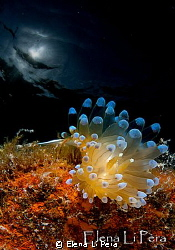 Small nudibranch with sunlight by Elena Li Pera